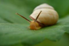Escargot sur la lame verte Photos libres de droits
