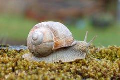 Escargot sur la mousse verte Photographie stock