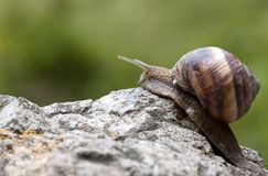 Escargot sur la pierre Images stock