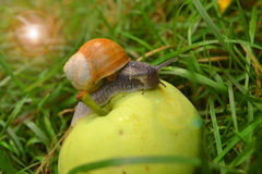 Escargot sur la pomme Photo stock