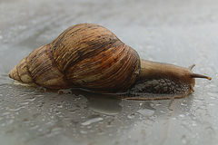 Escargot sur la surface humide Photos libres de droits