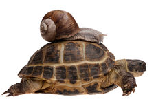 Escargot sur la tortue Photographie stock
