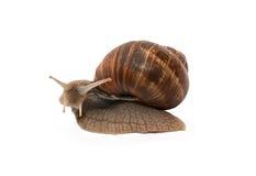 Escargot sur le blanc Image stock