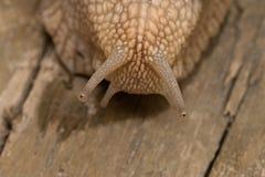 Escargot sur le bois face à face photo stock