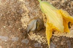 Escargot sur le dos près de la fleur de potiron photographie stock