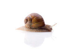 Escargot sur le fond blanc Photo stock