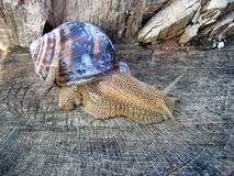 Escargot sur le logarithme naturel Photo stock