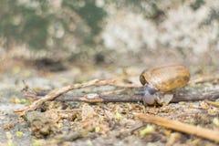 Escargot sur le rondin Image libre de droits