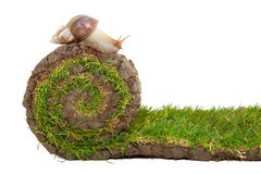 Escargot sur le roulis d'herbe Photos stock