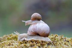 Escargot sur un escargot sur la mousse verte Image stock