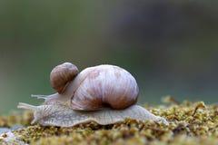 Escargot sur un escargot sur la mousse verte Photo stock