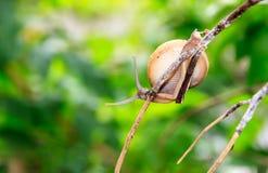 Escargot sur une branche Photo libre de droits