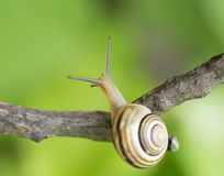 Escargot sur une branche Photos stock