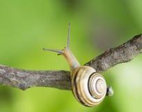 Escargot sur une branche photos stock