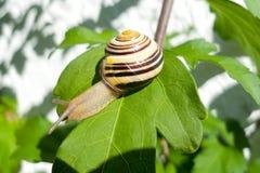Escargot sur une feuille image stock