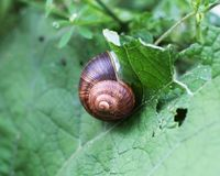 Escargot sur une feuille Photo libre de droits