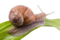 Escargot sur une feuille Photos stock