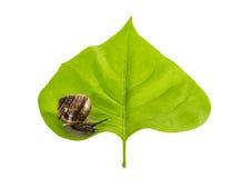 Escargot sur une feuille Image libre de droits