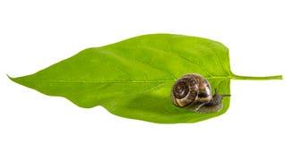 Escargot sur une feuille Photos libres de droits