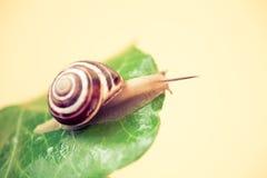 Escargot sur une feuille explorant Image stock