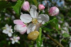Escargot sur une fleur Photos libres de droits
