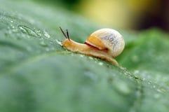 Escargot sur une lame Photographie stock