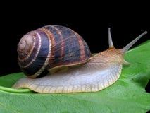 Escargot sur une lame verte Photo libre de droits