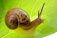 Escargot sur une lame verte Images stock