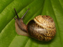Escargot sur une lame verte Photos libres de droits