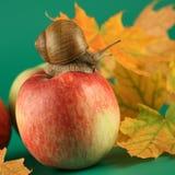 Escargot sur une pomme Photos libres de droits