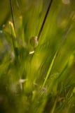 Escargot sur une tige d'herbe Photographie stock libre de droits