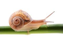 Escargot sur une tige en bambou verte Photographie stock libre de droits