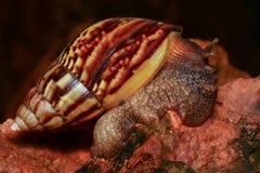 Escargot thaïlandais sur la roche Photographie stock libre de droits