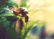 Escargot translucide sur la feuille, mollusque Photographie stock