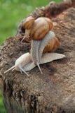 Escargot tres o caracoles Fotografía de archivo libre de regalías