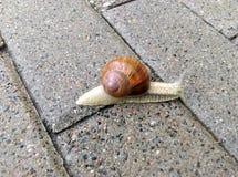 Escargot urbain descendant le pavage humide image stock