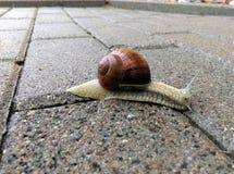 Escargot urbain fonctionnant en bas du pavage humide photographie stock