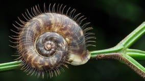 Escargot velu dans Sarawak Photos stock
