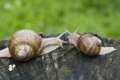 Escargots Photo libre de droits