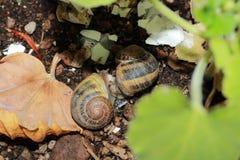Escargots aimant dedans autour des arbres Photographie stock
