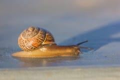 Escargots au coucher du soleil Escargots affectueux Rampements comme un escargot image libre de droits