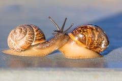Escargots au coucher du soleil Aimer deux escargots Rampements comme un escargot photos stock
