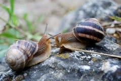 Escargots contactant et se saluant Image libre de droits