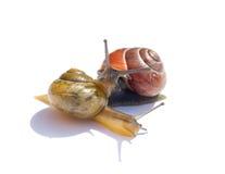 Escargots dans l'amour Image stock