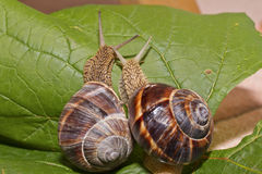 Escargots dans l'amour Photo libre de droits