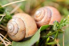 Escargots dans l'herbe Images stock