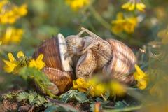 Escargots de accouplement de Bourgogne Image libre de droits