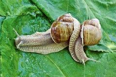 Escargots de accouplement de jeu sur le fond des feuilles vertes Photographie stock libre de droits