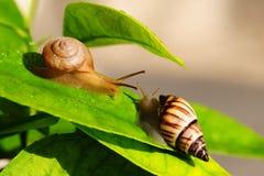 Escargots de cordon Image stock