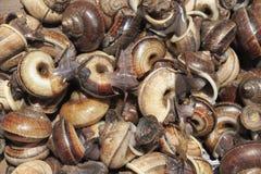 Escargots de Cyclophorid Photographie stock libre de droits
